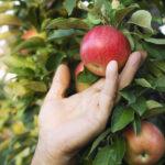 hand picking low-lying fruit