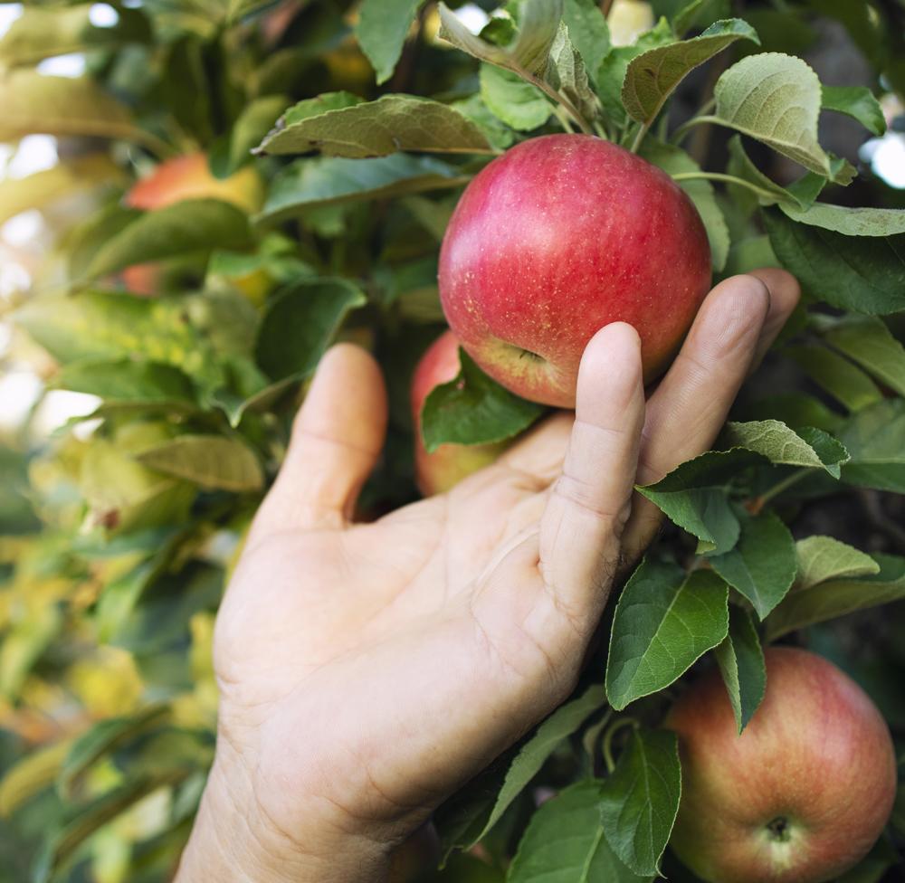 hand picking low hanging fruit
